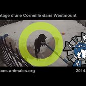 Urgences Animales - Sauvetage Animal Rescue (20140110-001) - Corneille (WestMount)