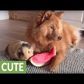 Dog and guinea pig share slice of watermelon