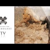 Lions Battle, Hunt and Fight Buffalo - Londolozi
