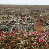 How small rodents in the Arctic affect birds in New Zealand
