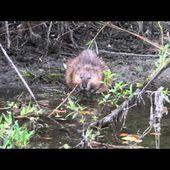 Un Rat musqué à la Haute-Île
