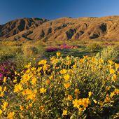 Californie : Après les pluies les déserts fleurissent !