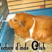 Bien équiper la cage de votre cochon d'inde - Cochon d'inde Club