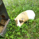 Fabriquer un parc de jardin pour cochon d'inde - Cochon d'inde Club