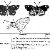 Zoonymie du Miroir Heteropterus morpheus . - Le blog de jean-yves cordier
