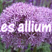 c2. Les alliums (ails d'ornement)