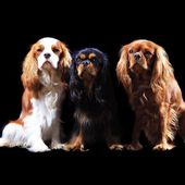 Cavalier King Charles & Co.