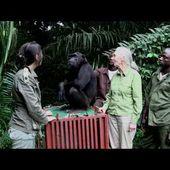 VIDEO: L'émouvant geste de remerciement d'un chimpanzé remis en liberté - Marichesse.com