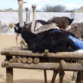 Exposed: Juvenile Ostriches Butchered for Hermès 'Luxury' Bags