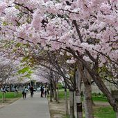 5 places to find cherry blossoms in Toronto beyond High Park
