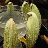 Herbe aux perruches - Asclepias syriaca