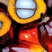 L'huile de palme au centre de la première guerre économique entre l'Afrique et l'Europe