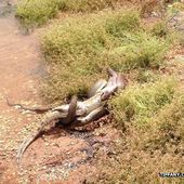 Snake eats crocodile after battle