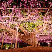 Cette glycine centenaire est considérée comme le plus bel arbre du monde... (9 photos)