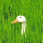 Quand les canards remplacent les pesticides. En Camargue, une expérience géniale. (VIDÉO)