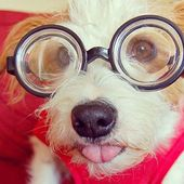 Cutestagram: Ginny the Jack Russell Terrier Plays Dress Up