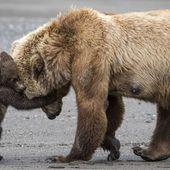 Mobilisation pour sauver les ours et loups d'Alaska menacés par Trump