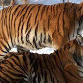 Des tigres mis à mort