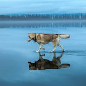 Magical Photos Show Huskies Walking on Water