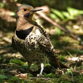 Pic flamboyant - Colaptes auratus - Northern Flicker