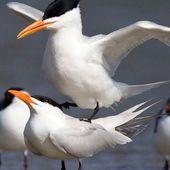 Sterne royale - Thalasseus maximus - Royal Tern
