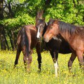250 poneys doivent être vendus dans le cadre d'une liquidation judiciaire