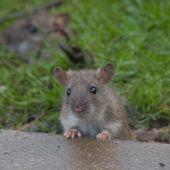 Paris en guerre contre les rats