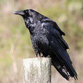 Grand Corbeau - Wikipédia