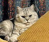 British shorthair - Wikipédia