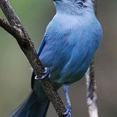 Blue-gray tanager - Wikipedia, the free encyclopedia