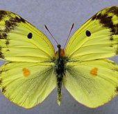 Fluoré (papillon) - Wikipédia