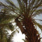 """Ba Bihi, """"L'homme-palmier"""""""