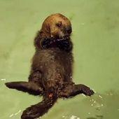 VIDEO. Un bébé loutre abandonné apprend à nager avec les humains