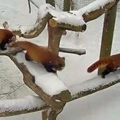 VIDEO. Etats-Unis : après le blizzard, des pandas roux sont de sortie dans la neige