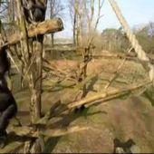 VIDEO. Pays-Bas : un chimpanzé détruit un drone en vol avec un bâton