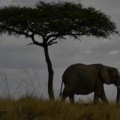 """En Afrique, """"un éléphant est braconné toutes les 26 minutes"""""""