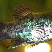 Platy - Xiphophorus maculatus
