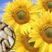 Les graines de tournesol, une collation santé!
