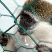 Pétition : Air France doit cesser le transport de singes vers les laboratoires
