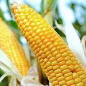Pétition : OGM, l'heure de vérité !