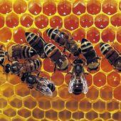 L'incroyable capacité des abeilles pour compter et reconnaître les visages
