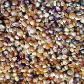 Ancient genomes show how maize adapted to life at high altitudes