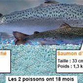 """""""Frankenfish"""" : le premier saumon génétiquement modifié arrive sur le marché américain - notre-planete.info"""