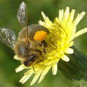 Syndrome d'effondrement des colonies d'abeilles : la France détient le record européen de mortalité en été
