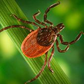 nsf.gov - National Science Foundation (NSF) Discoveries - Lyme Disease: Ten things you always wanted to know about ticks... - US National Science Foundation (NSF)