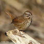 Bruant chanteur - Melospiza melodia - Song Sparrow
