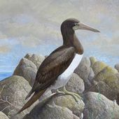 Fou brun - Sula leucogaster - Brown Booby