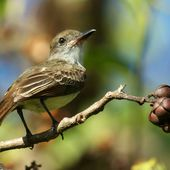 Tyran de Wied - Myiarchus tyrannulus - Brown-crested Flycatcher