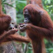 Mille orangs-outans menacés : Stop à la plantation de Sungai Putri