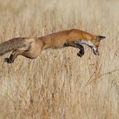 Les renards, une arme efficace contre la maladie de Lyme ?